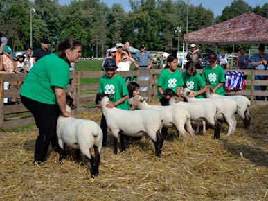 4H Sheep Show